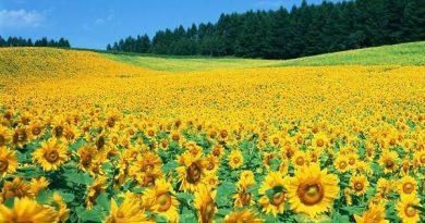 Mơ thấy hoa hướng dương là điềm báo điều gì?