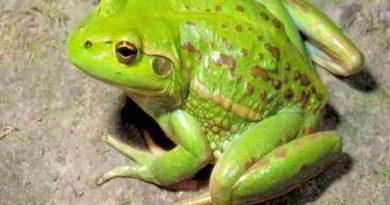 Mơ thấy con ếch là điềm báo lành hay dữ?